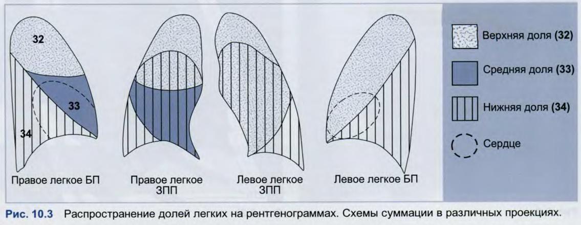 сегменты легких на схеме