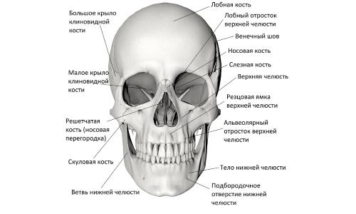 Строение черепа (вид спереди)