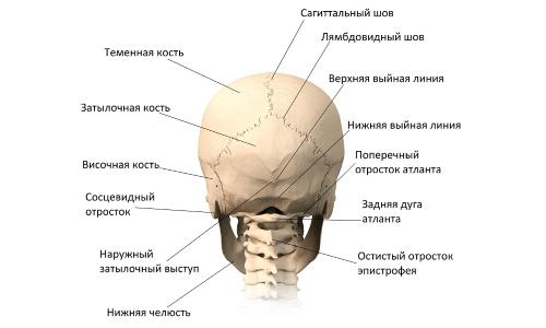 Строение черепа (вид сзади)