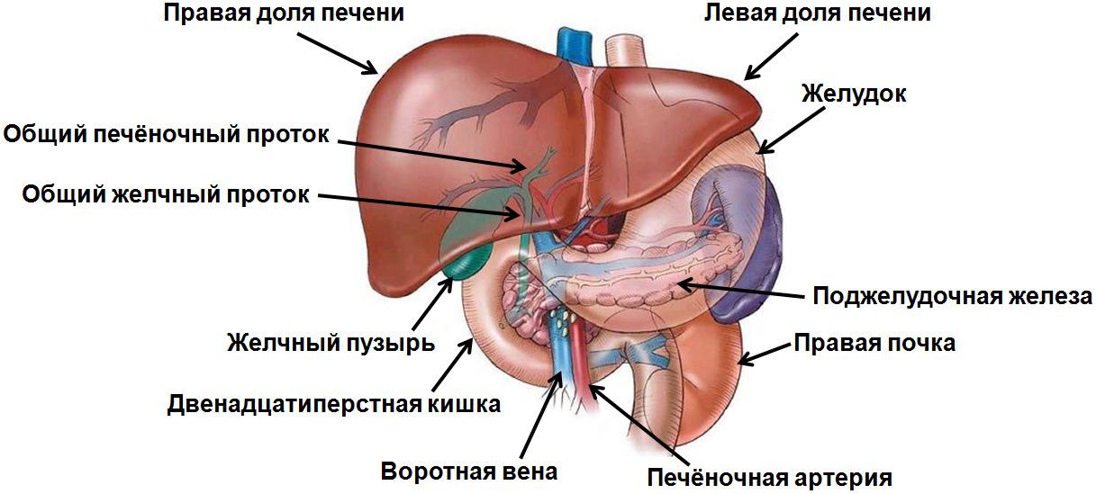 гепатомегалия диффузные изменения печени и поджелудочной железы