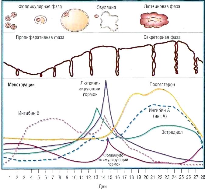 гормон прогестерон за что отвечает у женщин