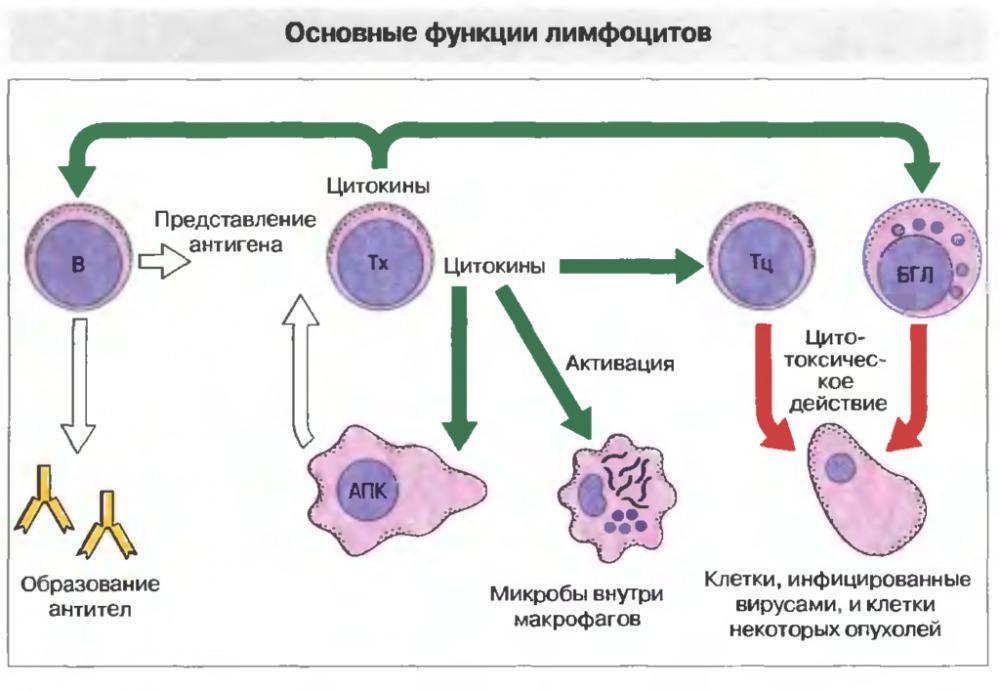 limfocity-norma-u-zhenshchin-po-vozrastu-tablica