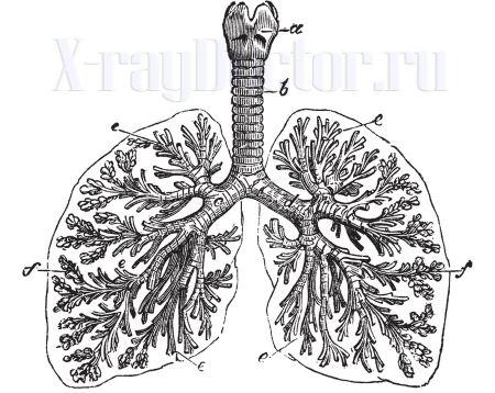изображение корней легких