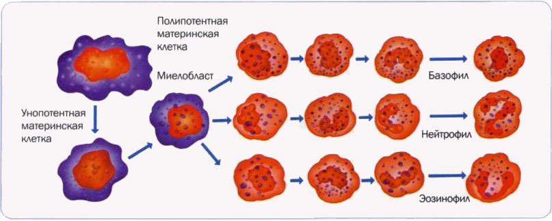 гемограмма крови норма таблица