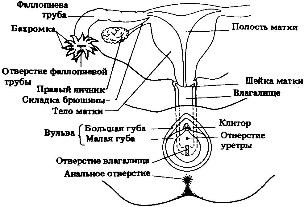 Наружные женские половые органы, женские вторичные половые признаки